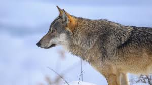 Wolf Vs Dog Size Chart 40 Million Years Of Dog Evolution