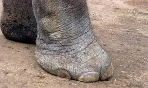 Hasil gambar untuk elephants foot