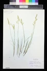 Corynephorus canescens - Flora del Noroeste dé México
