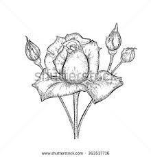 Small Picture Hand Drawn Rose Buds Detailed Sketch Stock Vector 363537716