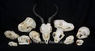 Small Animal Skull Identification Chart Rodent Skull Identification Chart Uk Www Bedowntowndaytona Com