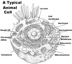 Small Picture Animal Cell Coloring Diagram Pagespng Wiring Diagram winkl