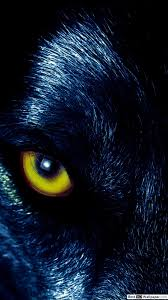 Wolfs Eyes Hd Wallpaper Download