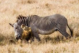 lioness hunting zebra. Simple Zebra Lionkill_marcuseichelberg_kenya12 Inside Lioness Hunting Zebra
