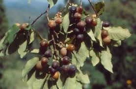 Persimmon Fruit Trees  EBayLotus Fruit Tree