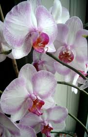 day orchid decor: moth  phebe orchid moth