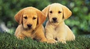yellow golden retriever puppy.  Golden Will The Coats Of Dark Golden Retriever Puppies Change Over Time On Yellow Puppy T