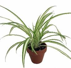 great office plants. The Spider Plant Is A Great Office Plants