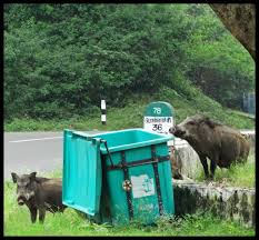 checking bin wild boar checking rubbish bin for goodies attakati flickr