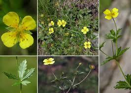 Potentilla erecta (L.) Raeusch. - Sistema informativo sulla flora ...