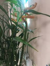 bamboo plant turning yellow from the top down it s about 5 years old never had this issue before it is yellowing pretty rapidly