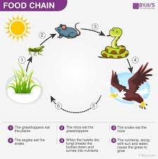 Energy Flow In Ecosystem Food Chain Food Web And Energy