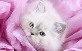 wallpapers persian cat kitten close