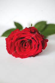 single red rose flower.  Rose Single Red Rose Flower U2014 Stock Photo To Red Rose Flower E