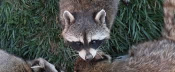 Wildlife & Animal Control, Exclusion & Remediation | Clearwater, FL, Chattanooga & Nashville, TN, Macon & Atlanta, GA
