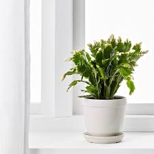 Christmas Cactus A Houseplant That Will Change Your Life Gardenista