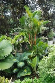 Licuala elegans, Variegated Adonidia merillii, , Cycas, Cyrtostachys renda Tropical  PlantsTropical ...