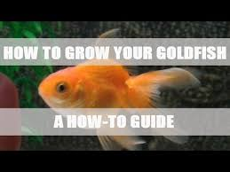Fantail Goldfish Growth Chart How To Grow Your Goldfish Youtube
