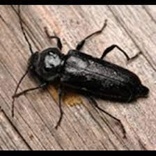 Ne jamais attendre pour résoudre un problème avec des insectes xylophages. Se Debarrasser Des Insectes Xylophages Anticimex
