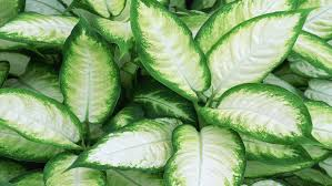 Dumb cane (Dieffenbachia 'Tropic Marianne') is a striking lime-green and  white plant for bright but not direct light. Leaves grow on cane-like stems  that ...