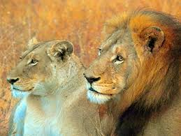 Panthera Leo Lion