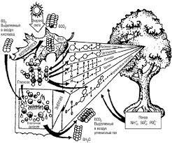 Экосистема понятие структура и виды экосистем Продуцентами выступают автотрофные организмы способные строить свои тела за счет неорганических соединений рис 8 2