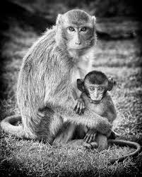 Mother And Baby Monkey Black And White Poster