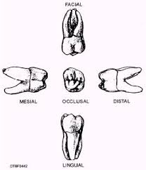 Maxillary Second Molar Maxillary Second Molar