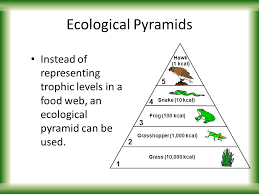 food web pyramid ecological pyramids instead of representing trophic levels in a