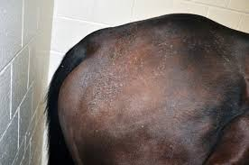 matted tufts of hair or crusty scabs on your horse s coat could be a sign of