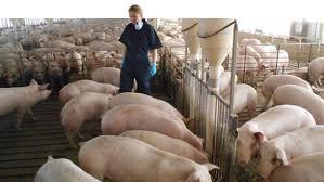Precio Más Bajo Granja Del Cerdo Engorde Cajón Casa De Partos Precio Granja De Cerdos Engorde