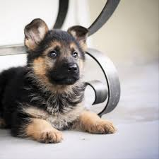 German Shepherd Puppy Food Chart What Is The Best Diet For A German Shepherd Puppy