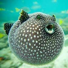 pufferfish and porcupine fish all over