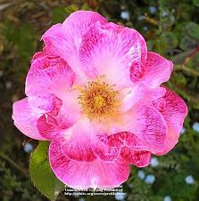 Photo of the bloom of Rose (Rosa 'Priscilla Burton') posted by zuzu -  Garden.org