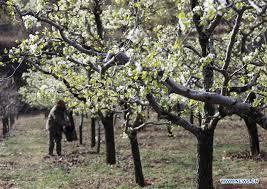 china i pear blossom cn