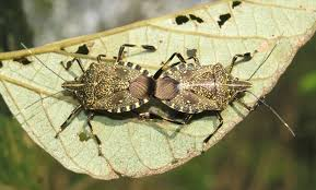 Image result for stink bug