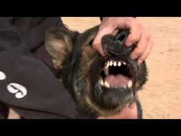 military german shepherd titanium teeth. Brilliant German SEALsu0027 Top Dog German Shepherd On Military Titanium Teeth
