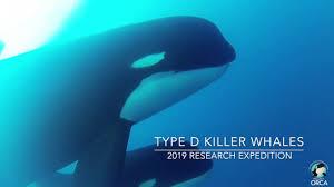 Exclusive Underwater Footage Captured of Type D <b>Killer Whales</b> ...