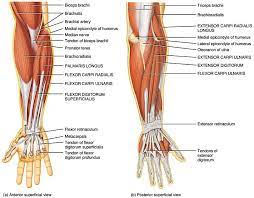 In the lower part of the forearm the muscle forms four tendons. Strengthen Forearms For Stronger Elbows And Wrists Page Kaizo Health