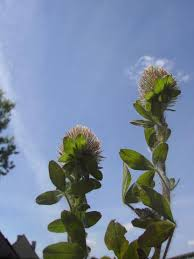 Trifolium diffusum | Manual of the Alien Plants of Belgium