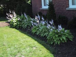 Small Picture hostas in bloom in front garden Gardening Pinterest