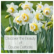 discover the beauty of double daffodils