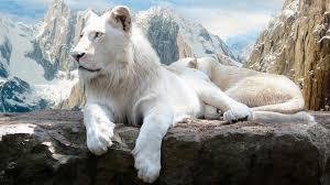 hd wallpaper background image id 509802 1920x1080 white lion