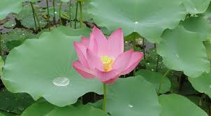 How To Make Big Lotus Flower From Paper National Flower Of India Lotus An Essay