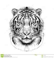 tiger black and white drawing. Wonderful White The Head Of The White Tiger Sketch Vector Graphics And Tiger Black White Drawing P