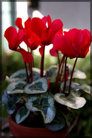 Cyclamen Care: How To Take Care Of Cyclamen Plants