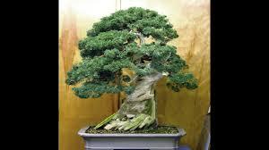 bonsai tree for office. Bonsai Tree For Office