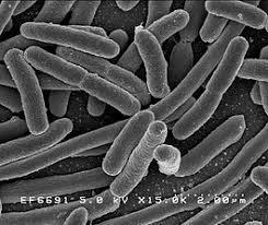 Бактерии Википедия Бактерии escherichiacoli niaid jpg