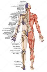 anatomie romp