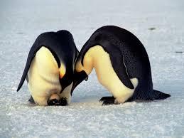 emperor penguin egg. Contemporary Penguin Penguin Reproduction To Emperor Egg H